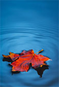 MapleLeaf_on_Water