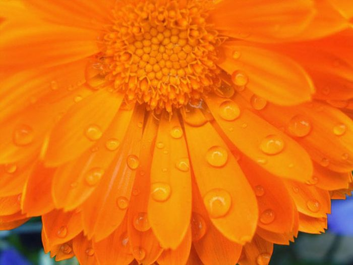 Orange flower Cheryl Millette For Your Better Health News